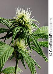 konopie, kwiat