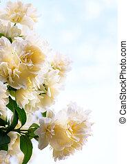 konst, jasmin, blomningen, på, blåttsky, bakgrund