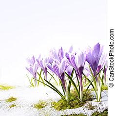 konst, krokus, blomningen, in, den, snö, töa