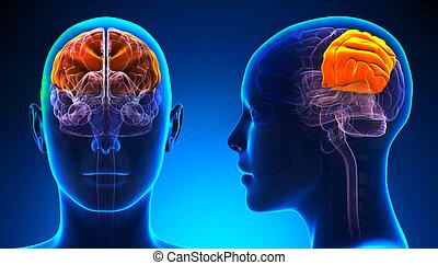 konzervativní, pojem, boltec, -, lebeční, anatomie, mozek, ...