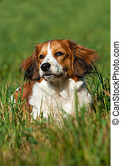 Kooikerhondje dog in a summer meadow