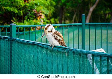 Kookaburra auf einem Zaun - Der Kookaburra ist in ganz...