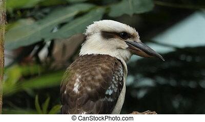 Kookaburra. - Kookaburra perched on a branch. Shallow depth...
