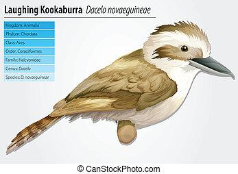 kookaburra, lachender