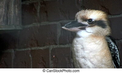 Kookaburra - Laughing Kookaburra Bird