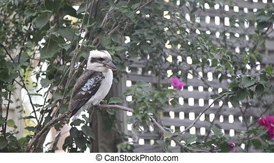 Kookaburra - Australian native Kookaburra bird close up in...