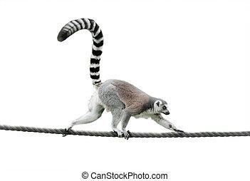 koord, wandelende, lemur, beugel ge-schauuuwd