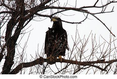 kopasz, eagle., fénykép, tart, -ban, alacsonyabb, klamath,...