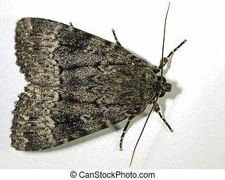 koper, (amphipyra, moth, svensson's, berbera), underwing