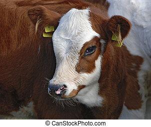 Kopf eines Kalbes des Hausrindes; head of a calf of a...