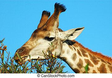 kopf, giraffe