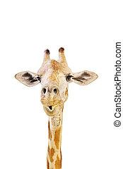 kopf, giraffe, -, tier