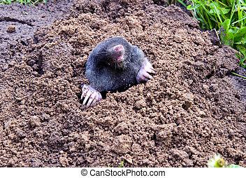 kopf, parasitisch, mole-hill., tier, beine, maulwurf