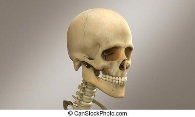kopf, totenschädel, -, animation, menschliche , mann, 3d