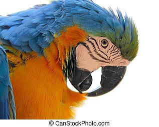 kopf, vogel, papagai, tier