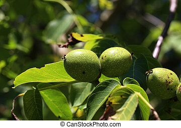 kopyto přivést k zralosti, vlašský ořech, list, nezkušený