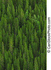 kopyto ukrýt v lese, borovice