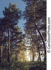 korán, nyár, erdő, ködös, reggel