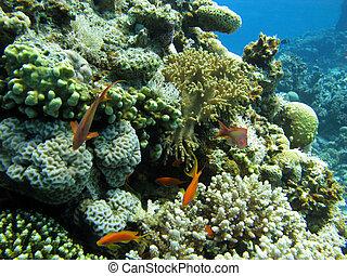 koraal, coraal, hard, zacht, rif