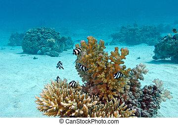 koraalrif, met, hard coral, en, exotische , vissen, wit-de steel verwijderde van, damselfish, bij de bodem van, tropische , zee, op, blauw water, achtergrond