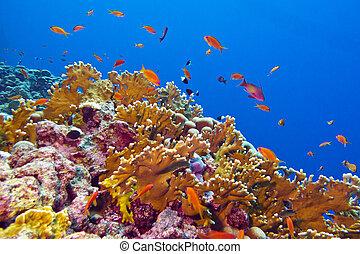 koraalrif, met, vuren coral, en, exotische , vissen, bij de bodem van, tropische , zee