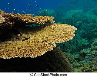 korall, koloni, på, stor spärr rev, australien