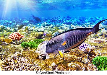 korall, och, fish-surgeon, i rött, sea., egypten, afrika, .