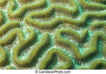 koralle, hintergrund