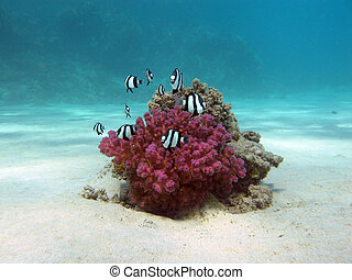 korallrev, med, arbetsam korall, och, exotisk, fiskar, white-tailed, damselfish, nederst, tropisk, hav, på, blå tåra, bakgrund