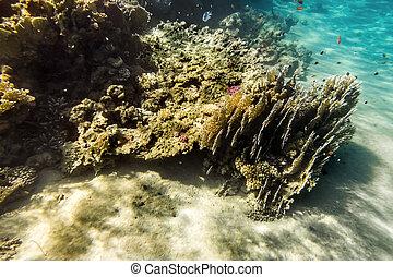 korallrev, vatten under, av, den, röd sjögång