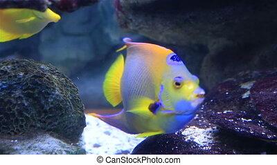 Koran angelfish in beautifully decorated Marine Aquarium.