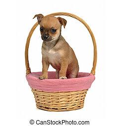 korb,  Chihuahua, junger Hund