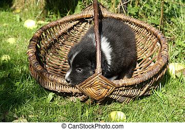 korb, schafhirte, australische, junger hund
