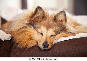 korb,  shelty, schläft, hund