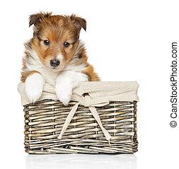 korb,  shetland, junger Hund, schäferhund