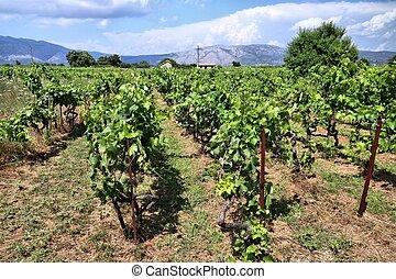 Korcula island vineyard