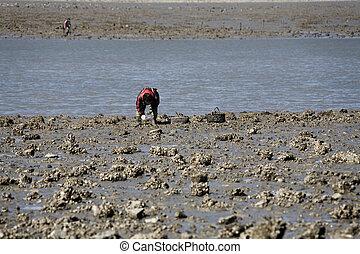 Korea Ocean tidal oyster Fishing