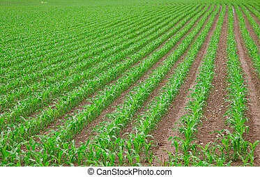 koren, groene, jonge, kiemplant