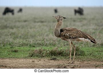 Kori Bustard - Serengeti Safari, Tanzania, Africa -...