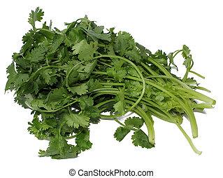 koriander, cilantro, of