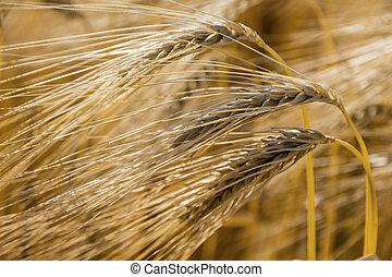 korn, fält, för, den, skörd
