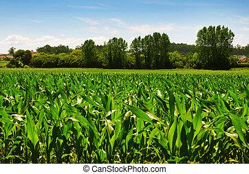 Korn Field