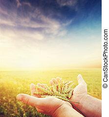 korn, frisch, getreide, hands., ernte, grün, landwirtschaft...
