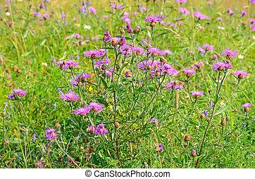 kornblume, (centaurea, jacea), blumen