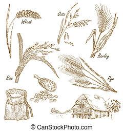 kornsorter, set., hånd, stram, illustration, hvede, rug,...