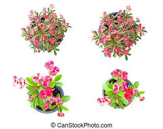 korona cierniowa, kwiat, odizolowany, na białym, tło