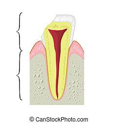 kors sektion, i, en, tand