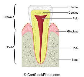 kors sektion, i, en, typiske, tand
