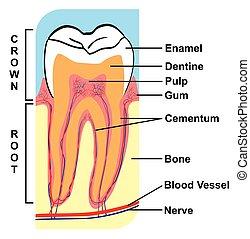 kors sektion, i, tand