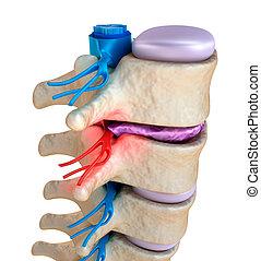 kort, pacierzowy, brzuchaty, ciśnienie, dysk, pod